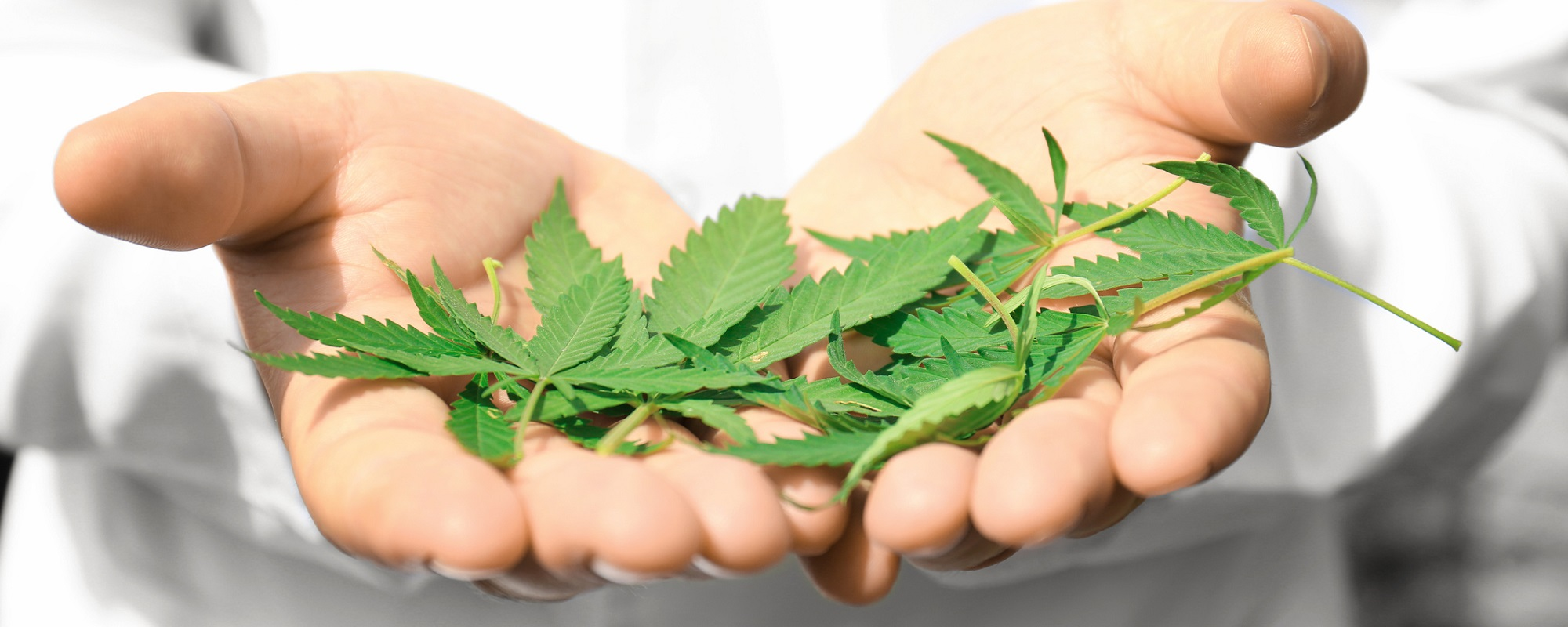 Hemp versus Marijuana: CBD vs THC