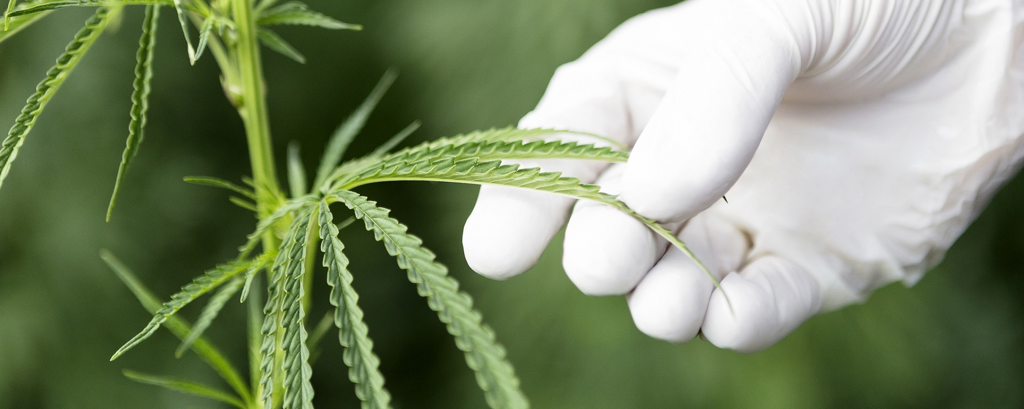The Future of Medicinal Cannabis: Where Do We Grow from Here?